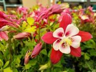 Aquilegia Red Star 30 Seeds - Charming White and Red Blooms